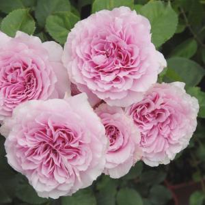Fusha  花色:ピンク 香⇒豊かな香りのバラです  四季咲き⇒くり返しよく咲きます  花径:8〜...