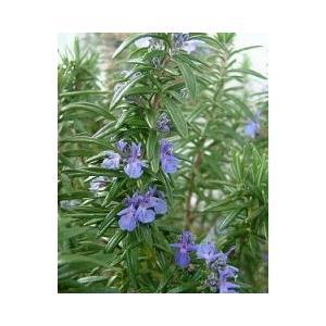 """学 名 Rosmarius officinalis""""Tuscan Blue"""" 科 名 シソ科マンネン..."""
