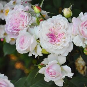 Kirke 花色:白地にライラックピンクのブラッシュ 香り★★☆ 四季咲き 花径:7cm、丸弁ロゼッ...