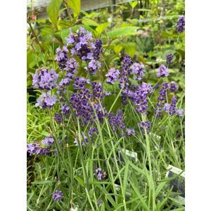 "Lavandula angustifolia ""Folgate""  濃紫色の多花性です。 イングリッ..."