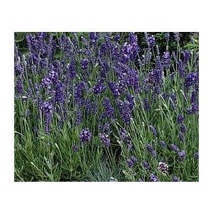Lavandula elegance blue  ※イングリッシュ系のラベンダー 『イングリッシュラ...