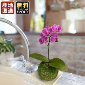 """今注目をあびている、緑のインテリア""""苔玉""""に植え込んだ、ミニ胡蝶蘭。受け皿付きで、おしゃれに飾れて、..."""