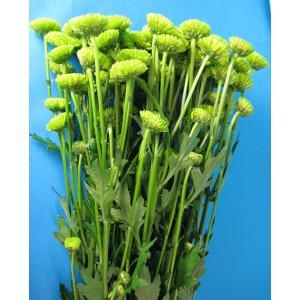 切り花 生花 切花 スプレーギクグリーン フロッギーポGなど 5本 ohanakakumei
