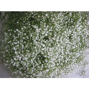 切り花 生花 切花 シユツコンカスミ ポラリスなど L以上 5本 ドライフラワーにもなります|ohanakakumei
