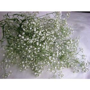 切り花 生花 切花 シユツコンカスミ ホワイトベールなど 5本 ドライフラワーにもなります|ohanakakumei