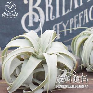 エアプランツ キセログラフィカ 観葉植物 花 ギフト|ohanakakumei