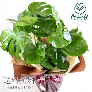 花 鉢物 ギフト 「モンステラ8号」観葉植物(ラッピング付き) 開店祝い|ohanakakumei