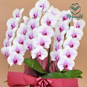 花 お祝い ギフト 胡蝶蘭鉢 コチョウラン  鉢 白赤リップ  ホワイト  3本立ち 27輪以上 開店祝い 誕生日|ohanakakumei