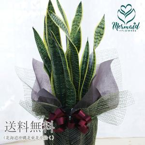 観葉植物 インテリア 大型 サンスベリア 8寸 開店祝い 新築祝い マイナスイオンたっぷり ラッピング付き|ohanakakumei