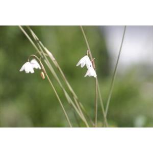 Acis autumnalis/アキス・アウツムナリス|ohgi-nursery