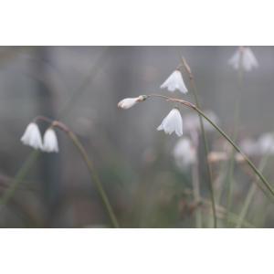 Acis autumnalis var. pulchellum/アキス・アウツムナリス プルケルム|ohgi-nursery