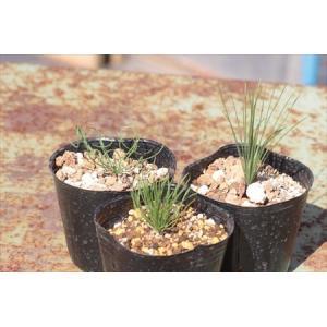 Albuca namaquensis/アルブカ・ナマクエンシス|ohgi-nursery