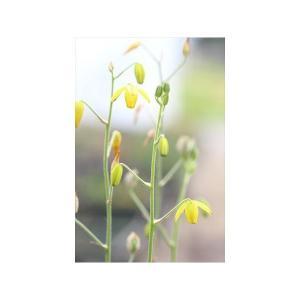 Albuca shawii/アルブカ・シャウィー ohgi-nursery