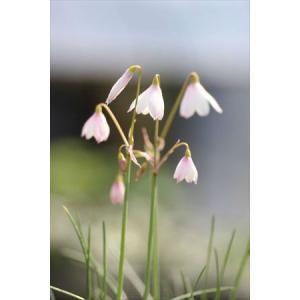 Acis trichophylla /アキス・トリコフィラ|ohgi-nursery