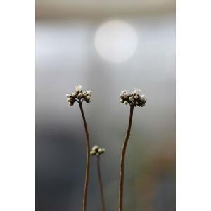 Crassula capensis var. capensis/クラッスラ・カペンシス|ohgi-nursery