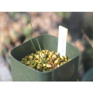 Gethyllis sp./ゲチリス未同定種(分球苗)|ohgi-nursery