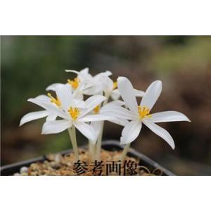 Gethyllis sp./ゲチリス不明種(2年苗)小サイズ苗|ohgi-nursery