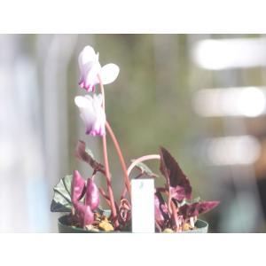 シクラメン・ヘデリフォリウム8 ohgi-nursery