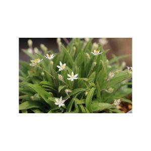 ヒポクシス・メンブラナセア/Hypoxis menbranacea ohgi-nursery