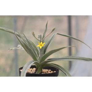 ヒポクシス・ビローサ/Hypoxis villosa ohgi-nursery