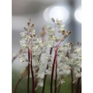 Lachenalia angelica/ラケナリア・アンジェリカ|ohgi-nursery