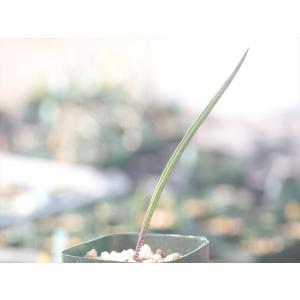 Lachenalia hirta var. hirta/ラケナリア・ヒルタ|ohgi-nursery