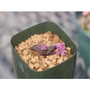 Ledebouria galpinii/レデボウリア・ガルピニー ohgi-nursery