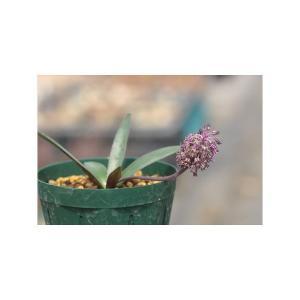 Ledebouria luteola Devon/レデボウリア・ルテオラ デボン産|ohgi-nursery