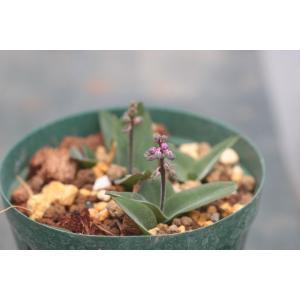 Ledebouria parvifolia/レデボウリア・パルヴィフォリア|ohgi-nursery