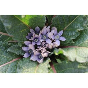 Mandragora autumnalis/マンドラゴラ・アウツムナリス|ohgi-nursery