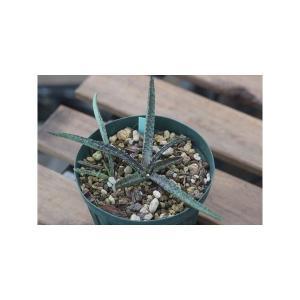Manfreda longiflora/マンフレダ・ロンギフローラ|ohgi-nursery
