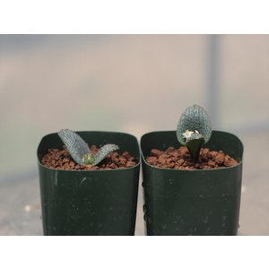 Massonia wittebergensis /マッソニア・ウィテベルゲンシス