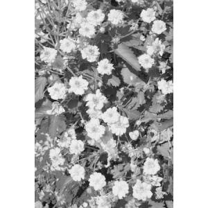 八重咲きミツバツチグリ|ohgi-nursery
