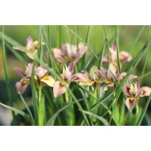 Moraea tricolor/モラエア・トリカラー|ohgi-nursery