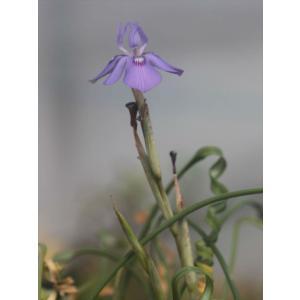 Moraea pritzeliana/モラエア・プリッツェリアナ|ohgi-nursery