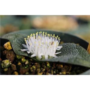 Massonia pygmaea/マッソニア・ピグメア|ohgi-nursery