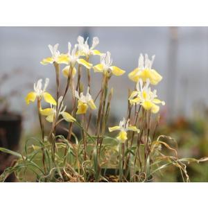 Moraea serpentina/モラエア・セルペンティナ|ohgi-nursery