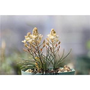 Ornithogalum adseptentrionesvergentulum/オーニソガラム・アドセプテントリオネスベルゲンツルム|ohgi-nursery
