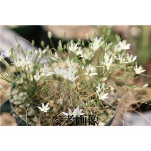 Ornithogalum sp.2/オーニソガラム不明種2|ohgi-nursery