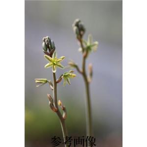 Ornithogalum unifoliatum/オーニソガラム・ウニフォリアツム|ohgi-nursery