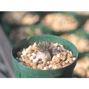 Ornithogalum sardienii/オーニソガラム・サルディエニー|ohgi-nursery