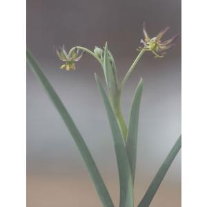 Ornithoglossum viride/オーニソグロッスム・ヴィリデ|ohgi-nursery