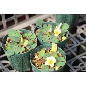 Oxalis luteola maculata MV5141B/オキザリス・ルテオラ・マクラータMV5141B|ohgi-nursery