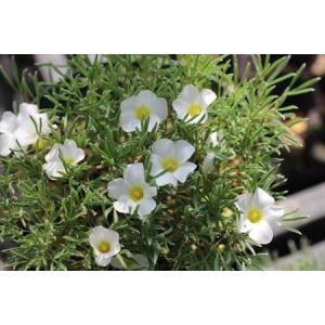 Oxalis massonorum/オキザリス・マソノルム|ohgi-nursery