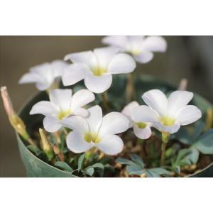 Oxalis flava Lavender form/オキザリス・フラバ ラベンダーフォーム|ohgi-nursery