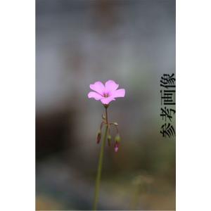 Oxalis livida|ohgi-nursery
