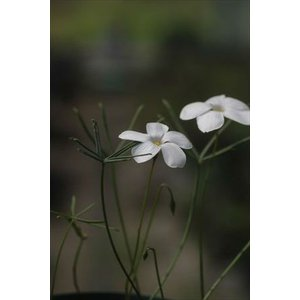 Oxalis cathara/オキザリス・カタラ|ohgi-nursery
