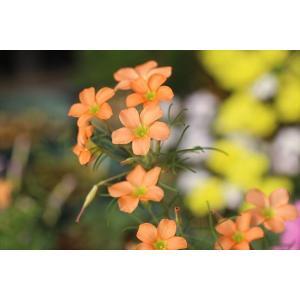 Oxalis gracilis|ohgi-nursery