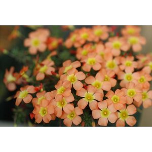 Oxalis massoniana|ohgi-nursery