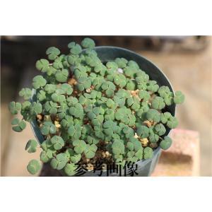 Oxalis fergusoniae|ohgi-nursery